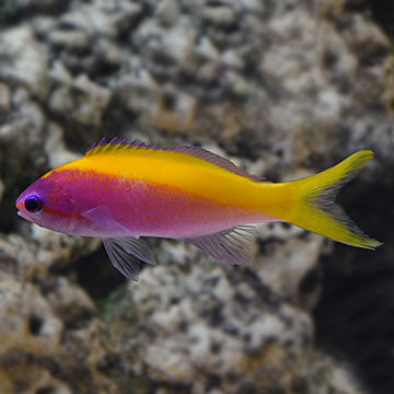 Evansi Anthias