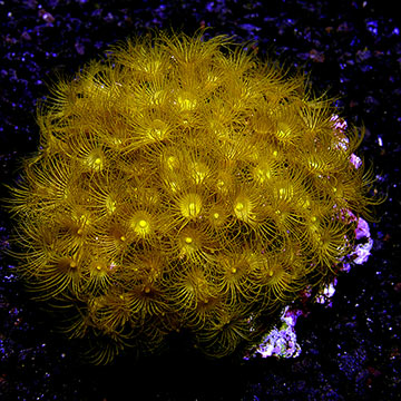 Colony Polyp, Yellow, Maricultured