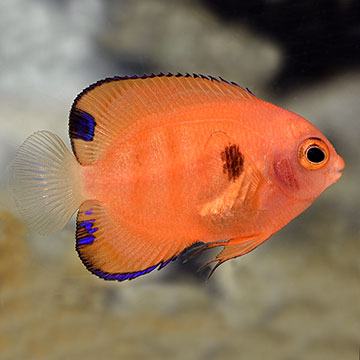 Flame Angelfish - Captive-Bred (USA)