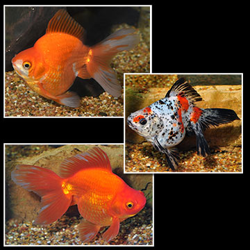 Ryukin Goldfish, Assorted