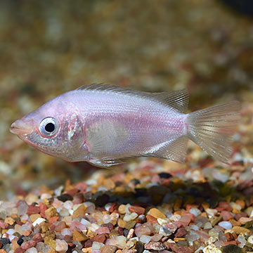 Kissing gourami for Pink kissing fish