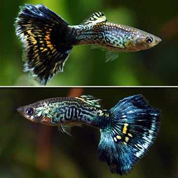Blue Cobra Guppy