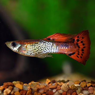Red Cobra Guppy