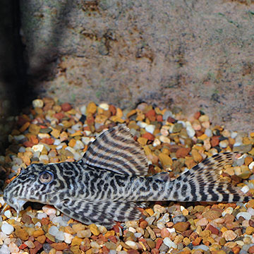 Gypsy King Tiger (L-66) Plecostomus