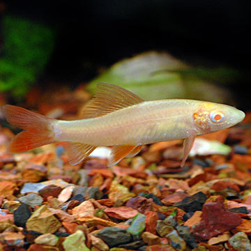 Albino Rainbow Shark