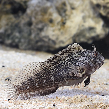 Molly Miller Blenny
