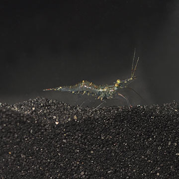Ghost Shrimp - Freshwater