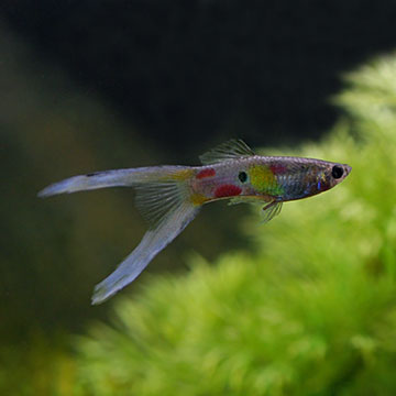 Lyretail Guppy (Pair)