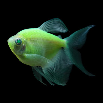 GloFish®, Electric Green® Longfin Tetra