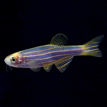 Tropical fish for freshwater aquariums glofish r danio for Danio fish care