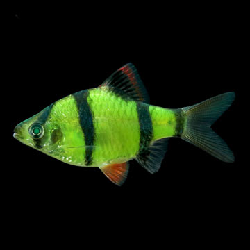 GloFish®, Electric Green® Barb