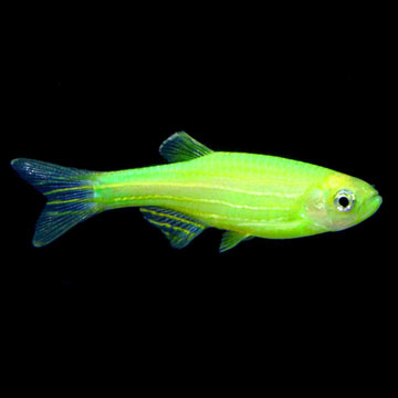 GloFish®, Electric Green® Danio