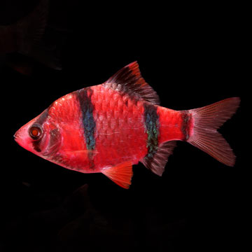 GloFish®, Starfire Red® Barb