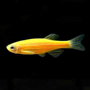 GloFish®, Sunburst Orange® Danio