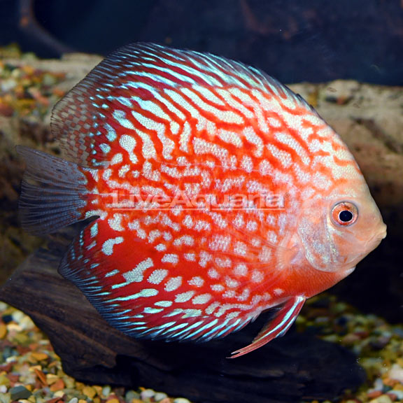 Tropical Fish For Freshwater Aquariums Stardust Discus