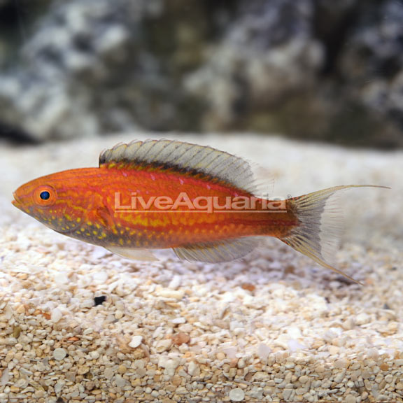 Lunate Fairy Wrasse