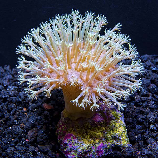 Biota Aquacultured White Polyp Toadstool Coral