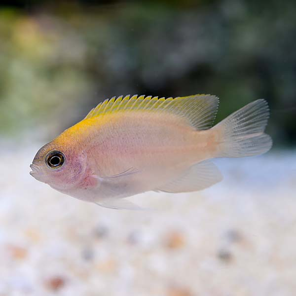 ORA® Captive-Bred Pink Smith Damselfish