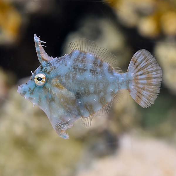 Radial Filefish, Captive-Bred, Biota