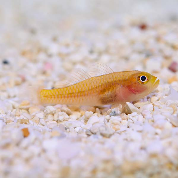 Biota Captive-Bred Yellow Trimma Goby