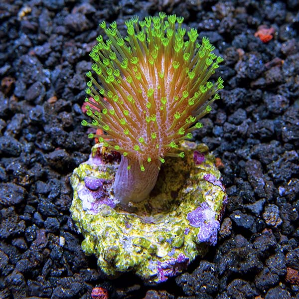 Biota Corals