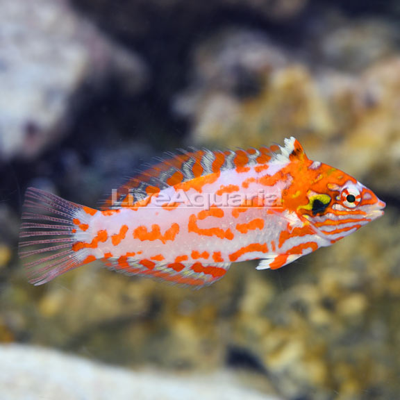Choat's Red Leopard Wrasse EXPERT ONLY