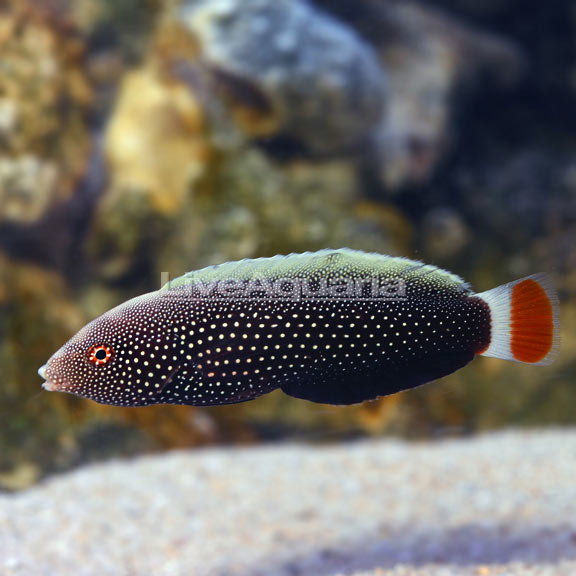 Redtail Tamarin Wrasse EXPERT ONLY