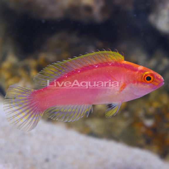 Rose-Band Fairy Wrasse