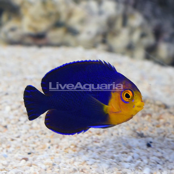 Pygmy (Cherub) Angelfish