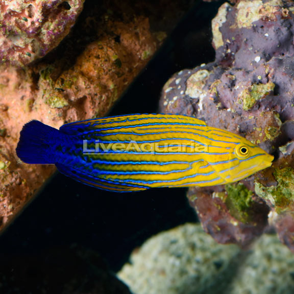 Blue Striped Tamarin Wrasse EXPERT ONLY