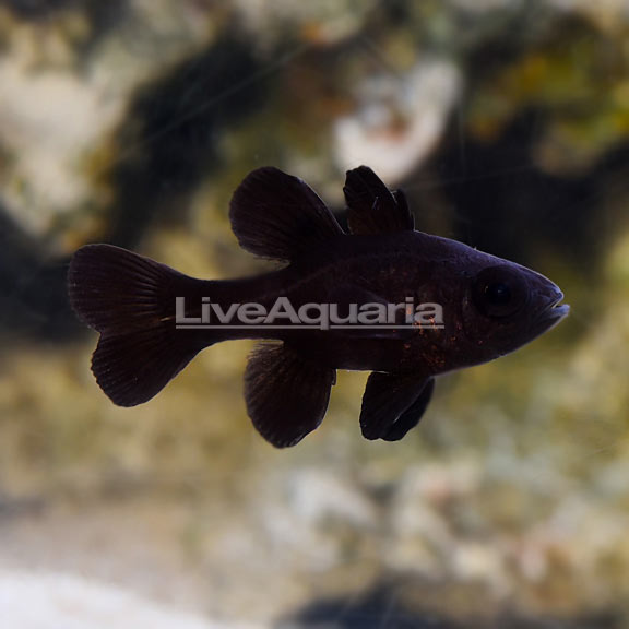 Black Cardinalfish