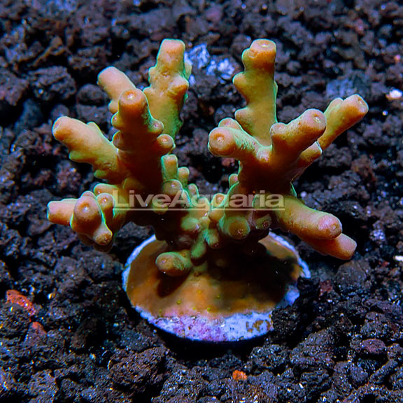 Micronesian Assorted Welcome SPS Coral Frag 5 Pack, Aquacultured ORA®