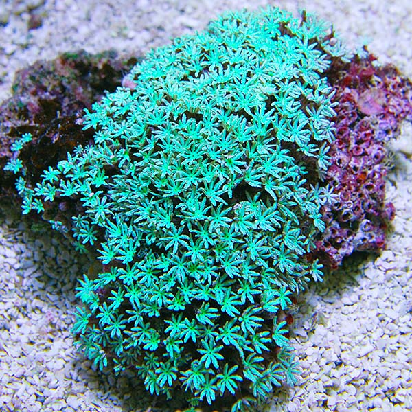 Green Pipe Organ Coral