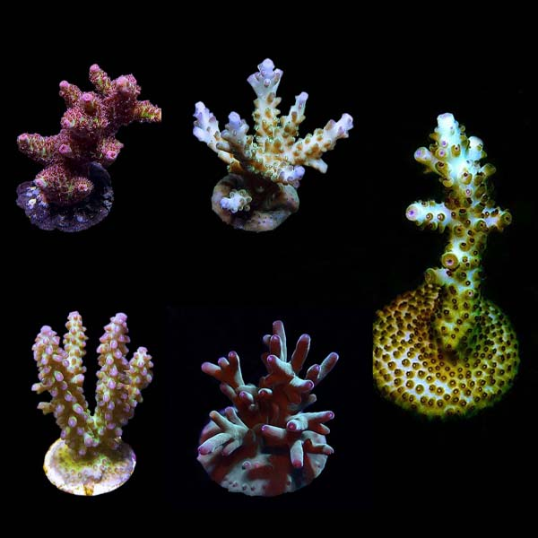 ORA® Aquacultured Assorted Premium Acropora Frag 5 Pack