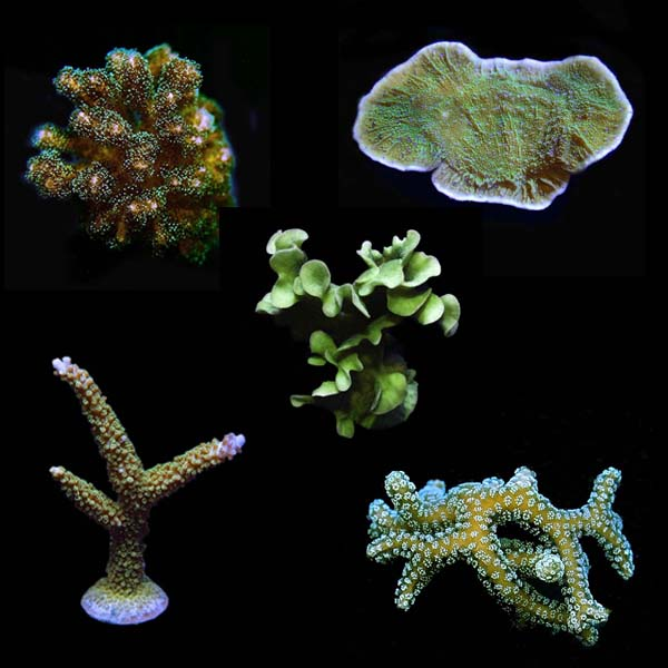 Assorted Beginner Hardy Frag 5 Pack, Aquacultured ORA®