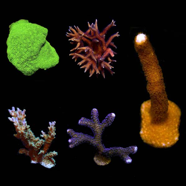 Assorted SPS Frag 5 Pack, Aquacultured ORA®