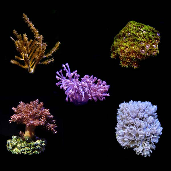ORA® Aquacultured Assorted Soft Coral 5 Pack