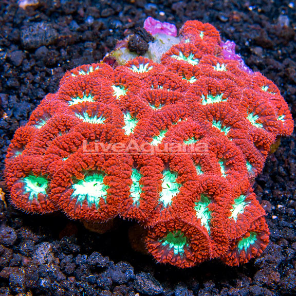 Big Polyp Blastomussa Coral