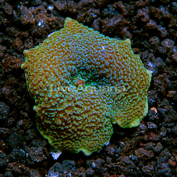 Elephant Ear Mushroom Coral, Aquacultured ORA®