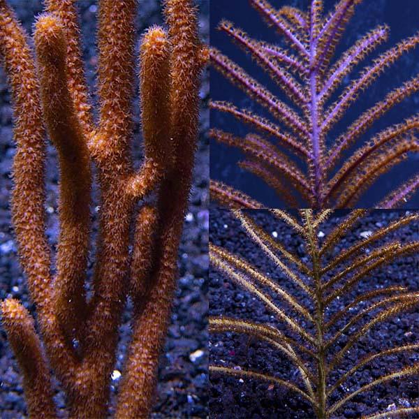 Assorted Sea Fan Variety 3 Pack, Maricultured