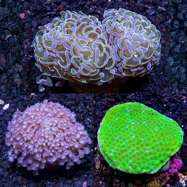 Assorted Maricultured LPS Coral 3 Pack