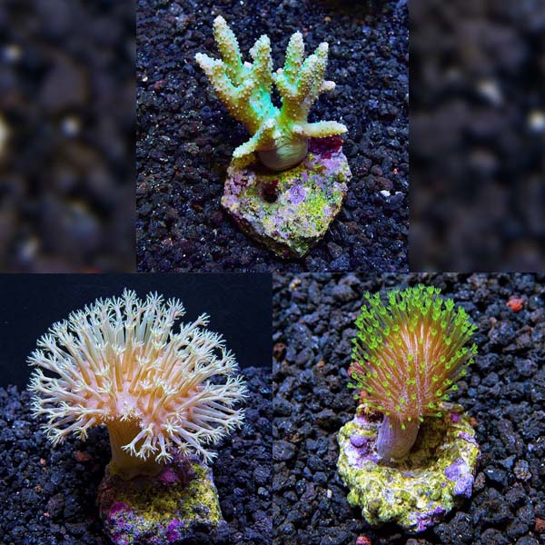 Biota Aquacultured Premium Soft Coral 3 Pack