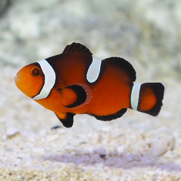ORA® Captive-Bred Misbar Fancy Ocellaris Clownfish