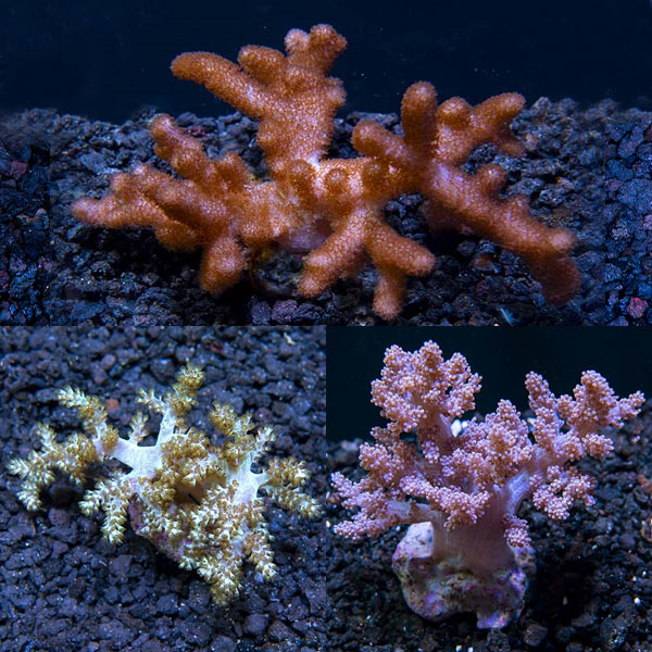 Premium Maricultured Tree Coral 3 Pack