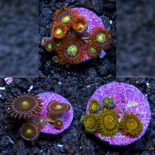 ECC Premium Aquacultured Zoanthid Polyp Packs