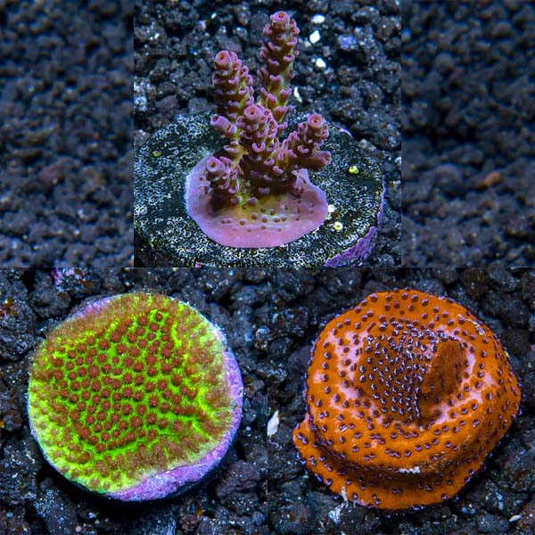 ECC Premium Aquacultured SPS Coral Packs
