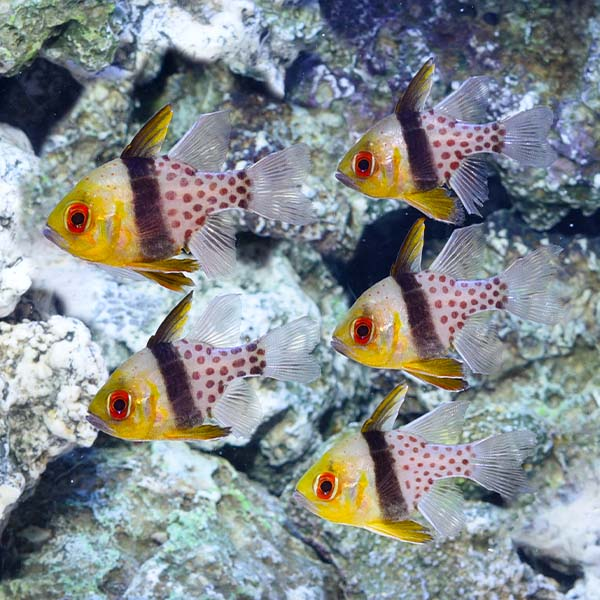 Pajama Cardinalfish Trio with 2 FREE Pajama Cardinals