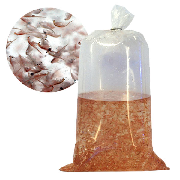 Live Adult Brine Shrimp