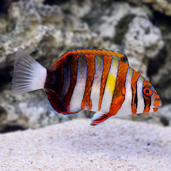 Harlequin Tusk Saltwater Aquarium Fish For Marine Aquariums