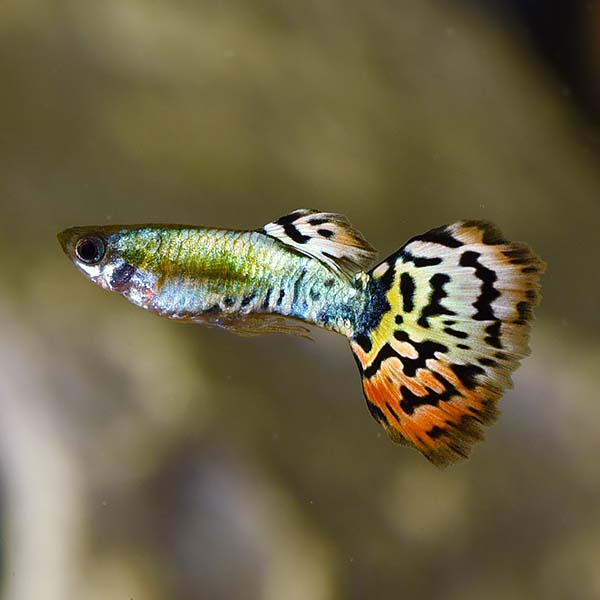 Luminous Leopard Guppy, Male